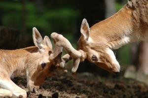 deer-1083607_960_720