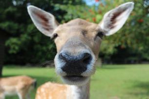fallow-deer-602253_960_720